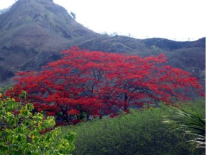 Flame tree in Aotearoa New Zealand
