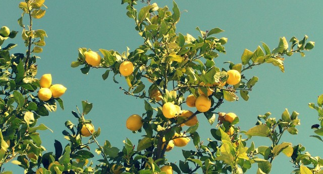 lemon-tree1
