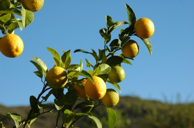 Lemon_tree_002