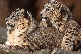 snowleopardcubs_20546