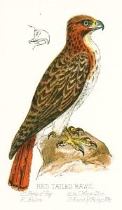 hawks-01