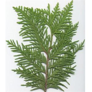 northern-white-cedar-leaf1315842149459