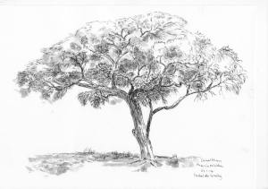 Camelthorn Tree