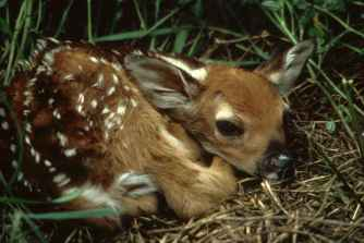 White_tailed_deer_fawn_in_grass_odocoileus_virginianus-1