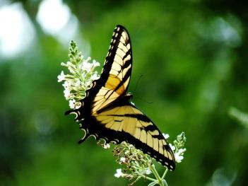 yellow_monarch_butterfly_wallpaper_