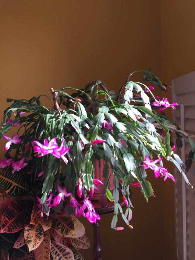 Chritmas cactus