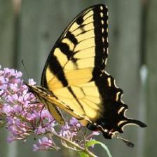 Butterfly_Yellow_Monarch