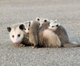 opossum_270x224